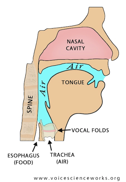 Voice Resonance And Speech Organs