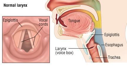 Vocal Cords – Source: Harvard Health Publishing (Harvard Medical School)
